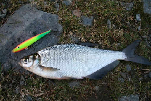 Blue bream (Abramis ballerus). Form strong stocks in several lakes, but seldom snatch lures.