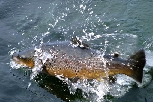 Sea trout (Salmo trutta).