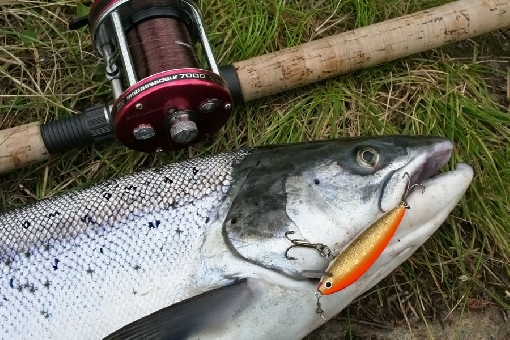 A bright migrating salmon snatched the LGH plug.