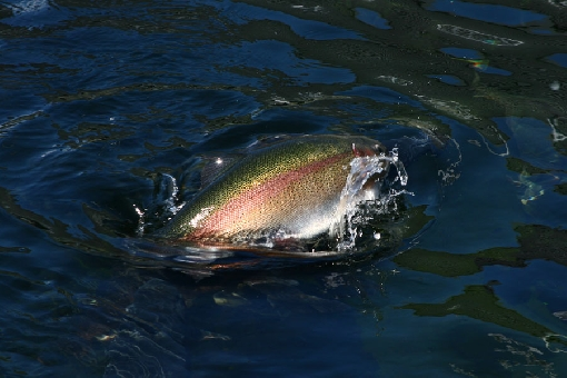 Rainbow trout is a typical game species in angling ponds.