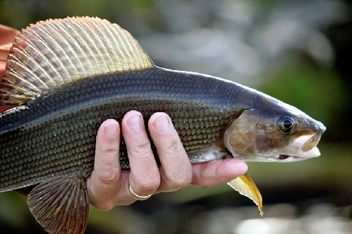 Grayling are typically pursued using flies.
