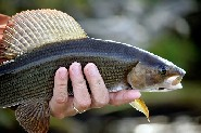 Grayling are typically pursued using flies. (Jari Salonen)